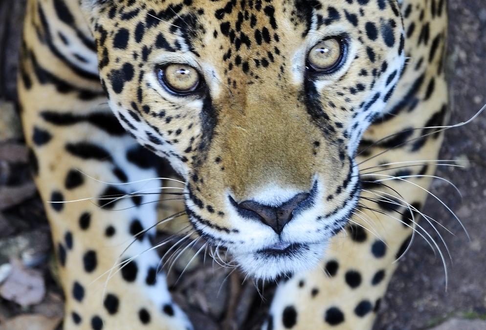 El mejor lugar para ver y fotografiar Jaguares en Petén